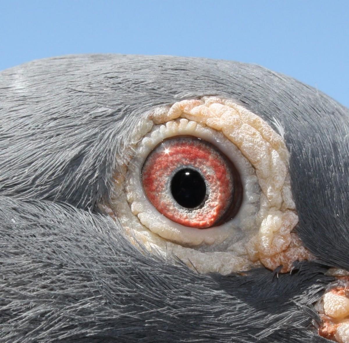 Teoria sobre o olho do pombo