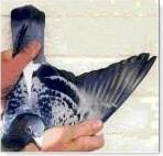 Asa do pombo correio de fndo