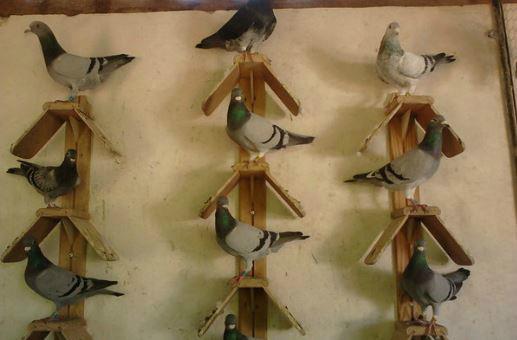 campeonato de voo de pombo correio