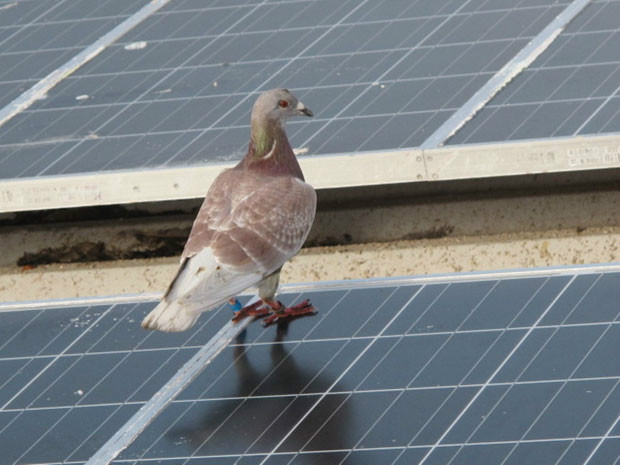 Pombos podem voar até 102 km/h