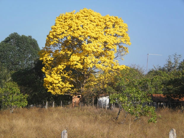 Pau D'arco amarelo dá espetáculo de beleza na zona rural de Pau D'arco do Piauí