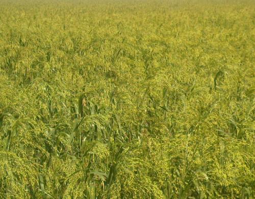 plantação de milho paínço