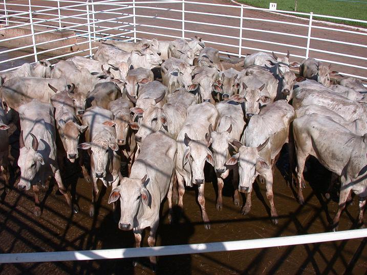 Humanidade encurralada como gado para abate