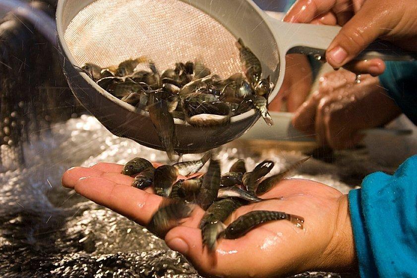 venda de alevinos de peixes