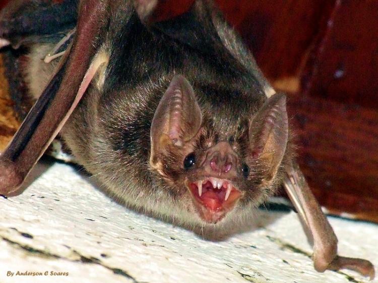 Morcego - Bichos en casa fotos ...