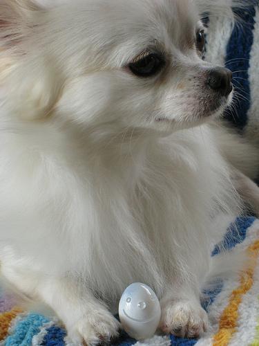 Chihuahua é o rei das raças mini, não só pela popularidade que ...