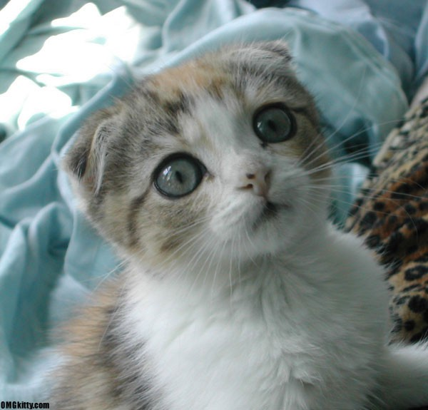 gato scottish fold