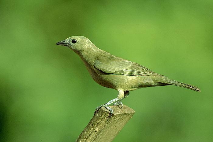 Conhecido Canto dos Pássaros de Pernambuco XY81