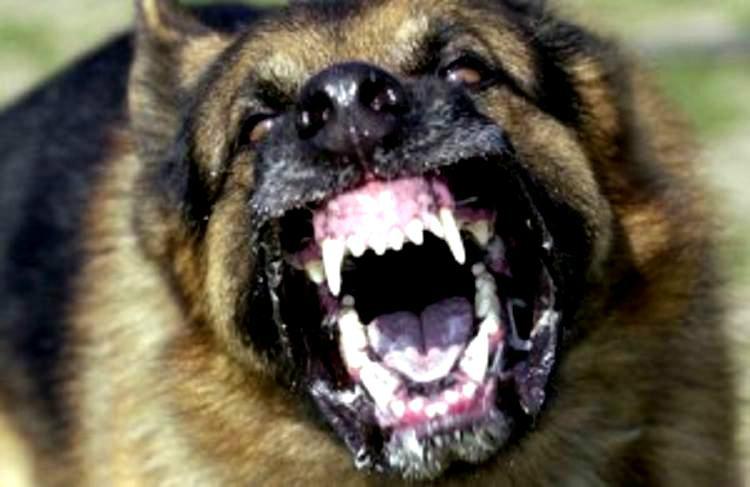 Canino agressivo