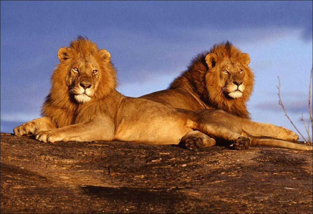 O leão da Lei