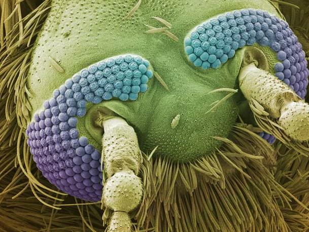 cabeça mosquito