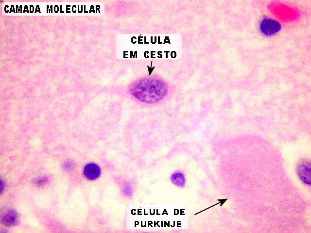 camada molecular2