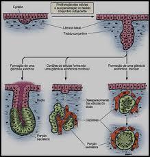 glandular