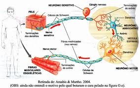 interneurônio