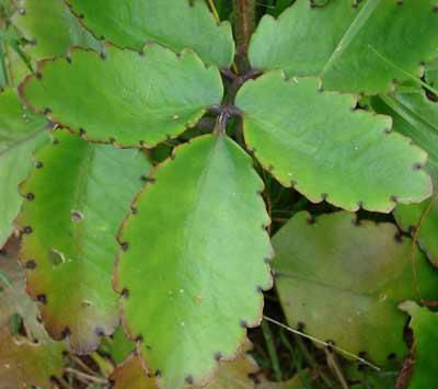 Imagem da folha da planta folha da fortuna