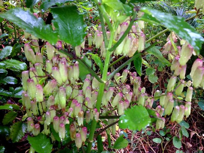 Imagem da flor da planta folha da fortuna